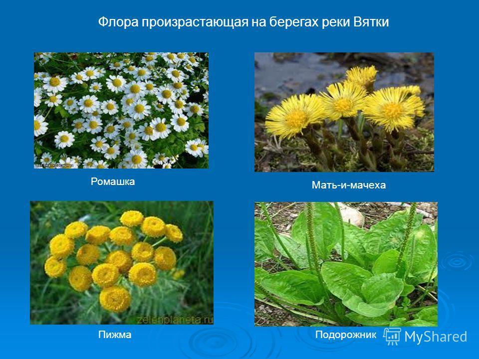 Флора произрастающая на берегах реки Вятки Мать-и-мачеха Ромашка Пижма Подорожник
