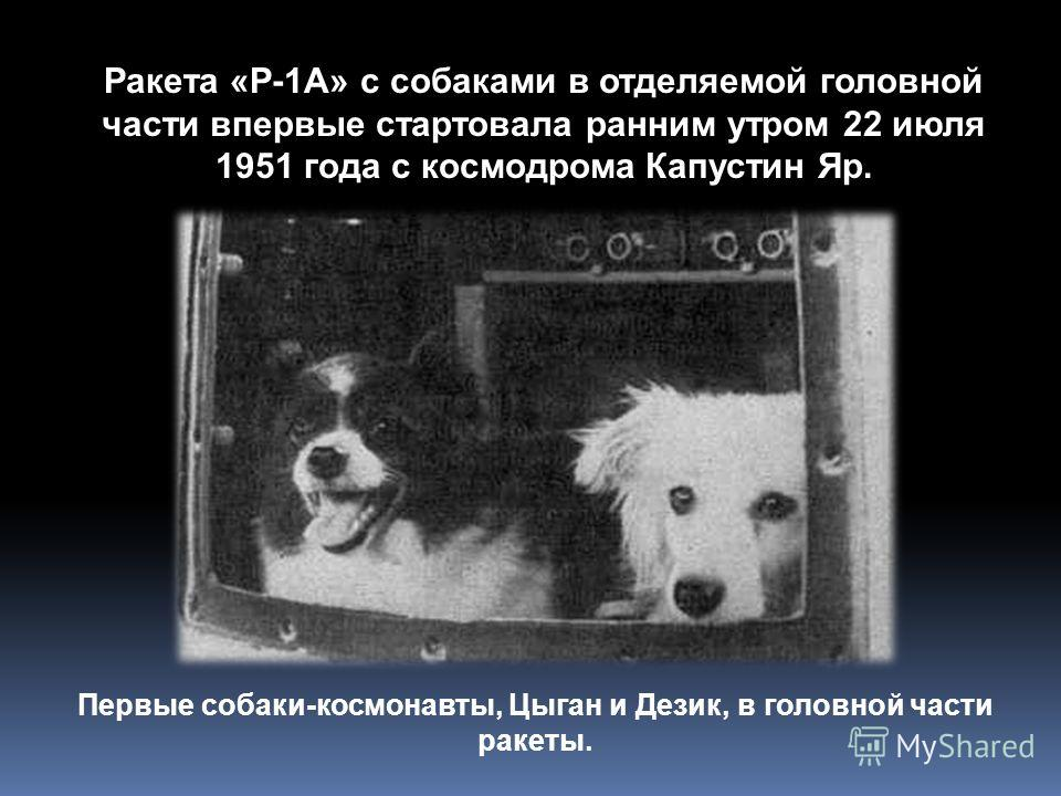 Первые собаки-космонавты, Цыган и Дезик, в головной части ракеты. Ракета «Р-1А» с собаками в отделяемой головной части впервые стартовала ранним утром 22 июля 1951 года с космодрома Капустин Яр.