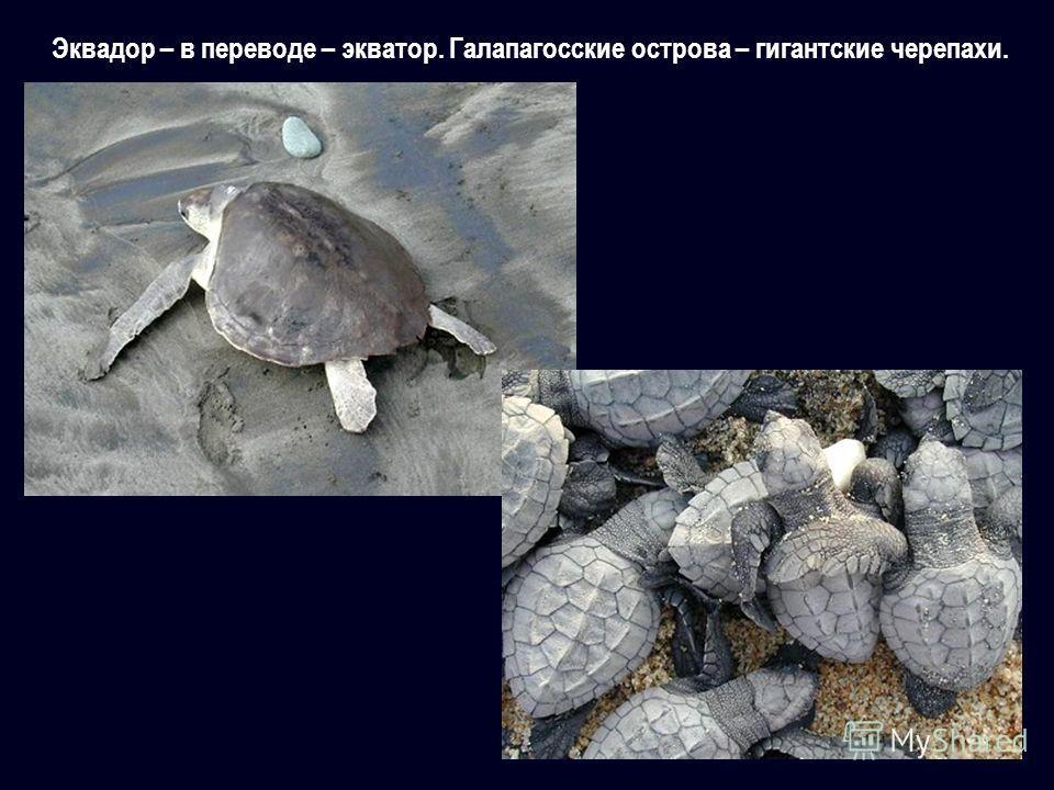 Эквадор – в переводе – экватор. Галапагосские острова – гигантские черепахи.