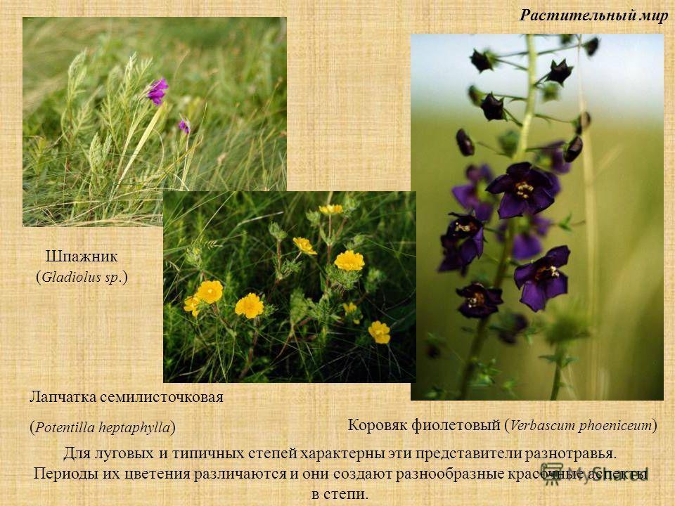 Растительный мир Для луговых и типичных степей характерны эти представители разнотравья. Периоды их цветения различаются и они создают разнообразные красочные аспекты в степи. Шпажник ( Gladiolus sp.) Лапчатка семилисточковая ( Potentilla heptaphylla