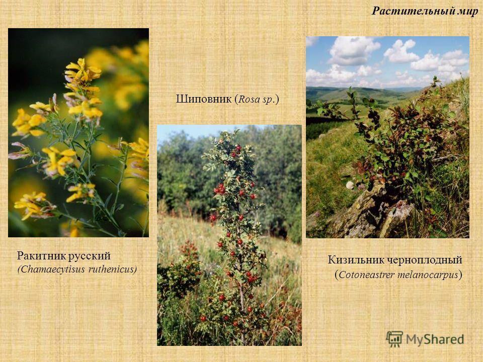 Растительный мир Ракитник русский (Chamaecytisus ruthenicus) Шиповник ( Rosa sp.) Кизильник черноплодный ( Cotoneastrer melanocarpus )