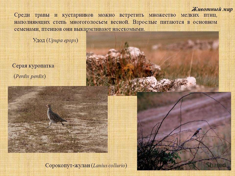 Животный мир Среди травы и кустарников можно встретить множество мелких птиц, наполняющих степь многоголосьем весной. Взрослые питаются в основном семенами, птенцов они выкармливают насекомыми. Сорокопут-жулан ( Lanius collurio ) Серая куропатка ( Pe