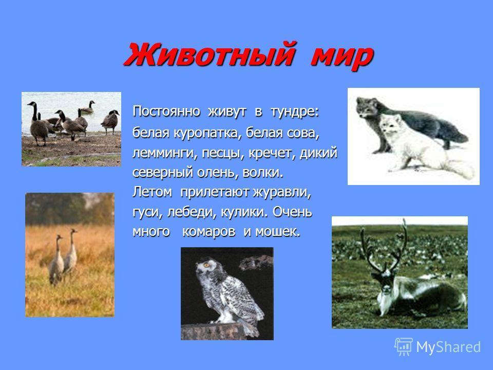 Животный мир Постоянно живут в тундре: Постоянно живут в тундре: белая куропатка, белая сова, белая куропатка, белая сова, лемминги, песцы, кречет, дикий лемминги, песцы, кречет, дикий северный олень, волки. северный олень, волки. Летом прилетают жур