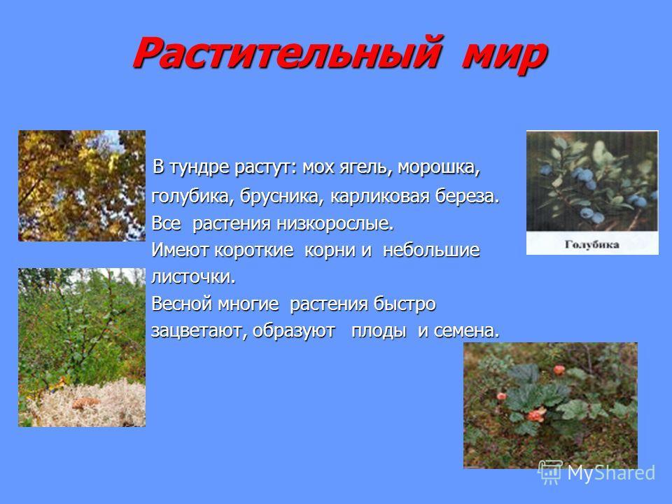 Растительный мир В тундре растут: мох ягель, морошка, В тундре растут: мох ягель, морошка, голубика, брусника, карликовая береза. голубика, брусника, карликовая береза. Все растения низкорослые. Все растения низкорослые. Имеют короткие корни и неболь