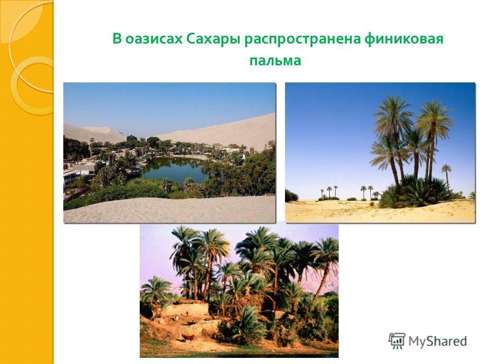 В оазисах Сахары распространена финиковая пальма