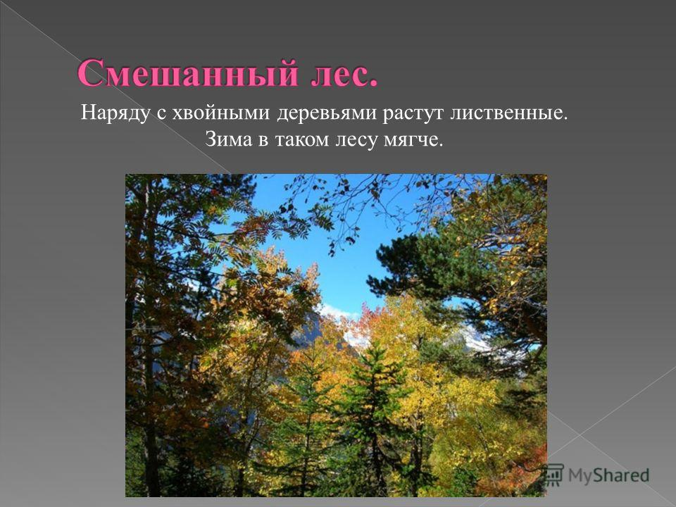 Наряду с хвойными деревьями растут лиственные. Зима в таком лесу мягче.