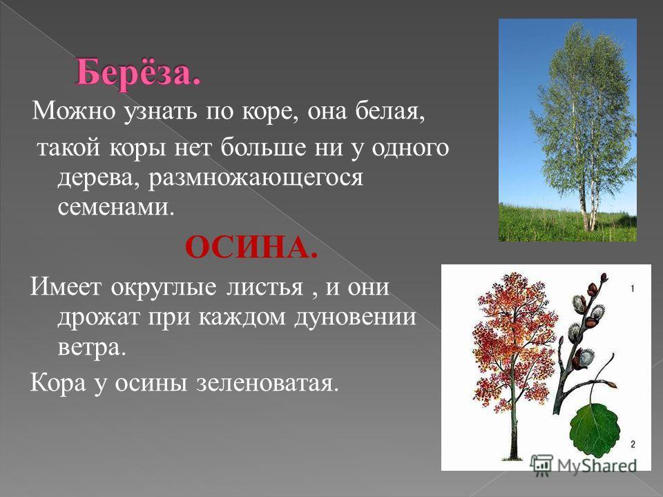 Можно узнать по коре, она белая, такой коры нет больше ни у одного дерева, размножающегося семенами. ОСИНА. Имеет округлые листья, и они дрожат при каждом дуновении ветра. Кора у осины зеленоватая.