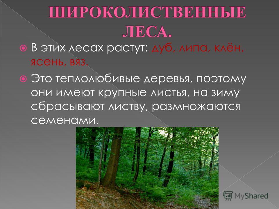 В этих лесах растут: дуб, липа, клён, ясень, вяз. Это теплолюбивые деревья, поэтому они имеют крупные листья, на зиму сбрасывают листву, размножаются семенами.