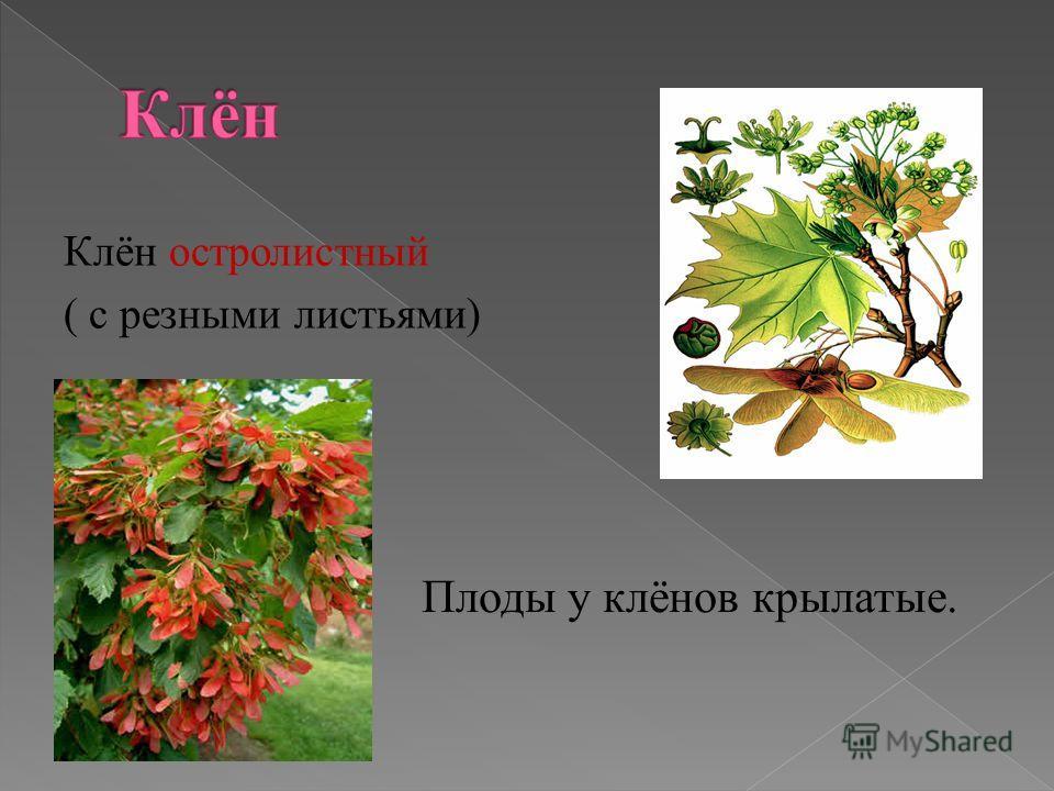Клён остролистный ( с резными листьями) Плоды у клёнов крылатые.