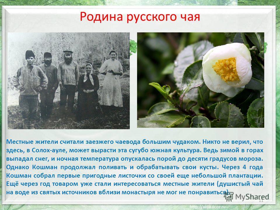 Родина русского чая Местные жители считали заезжего чаевода большим чудаком. Никто не верил, что здесь, в Солох-ауле, может вырасти эта сугубо южная культура. Ведь зимой в горах выпадал снег, и ночная температура опускалась порой до десяти градусов м