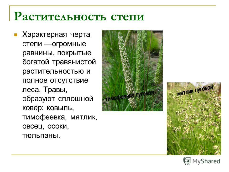 Растительность степи Характерная черта степи огромные равнины, покрытые богатой травянистой растительностью и полное отсутствие леса. Травы, образуют сплошной ковёр: ковыль, тимофеевка, мятлик, овсец, осоки, тюльпаны.