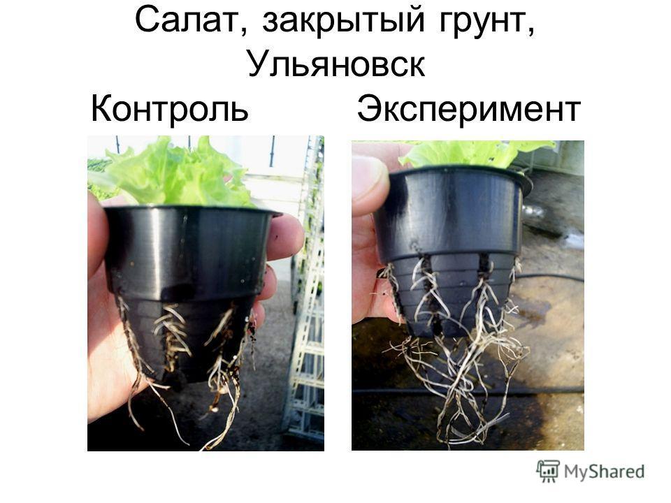 Салат, закрытый грунт, Ульяновск Контроль Эксперимент
