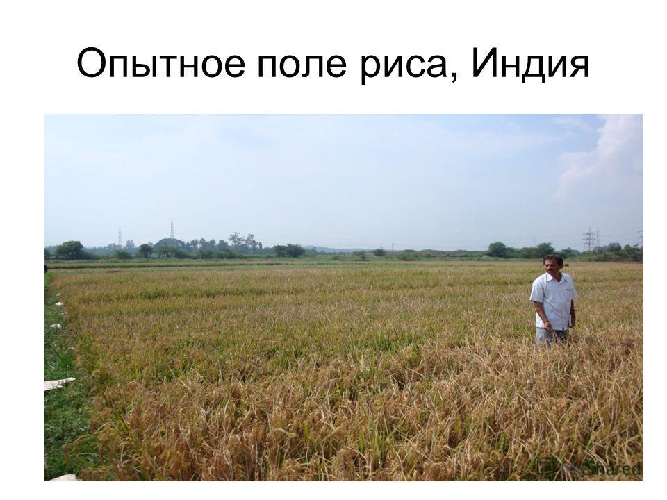 Опытное поле риса, Индия