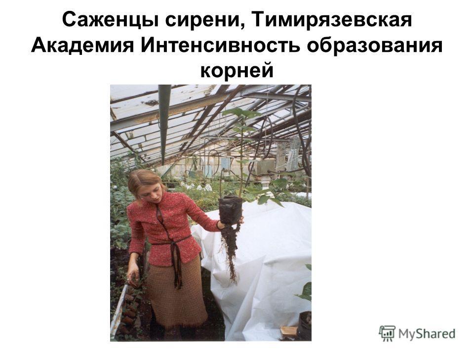 Саженцы сирени, Тимирязевская Академия Интенсивность образования корней