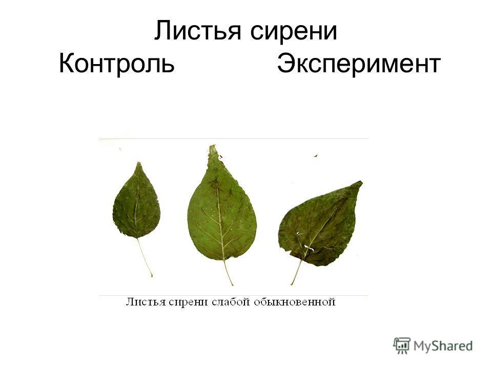 Листья сирени Контроль Эксперимент