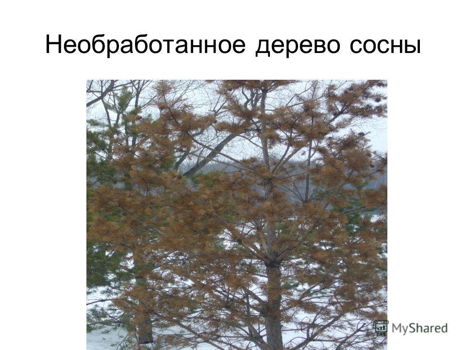 Необработанное дерево сосны