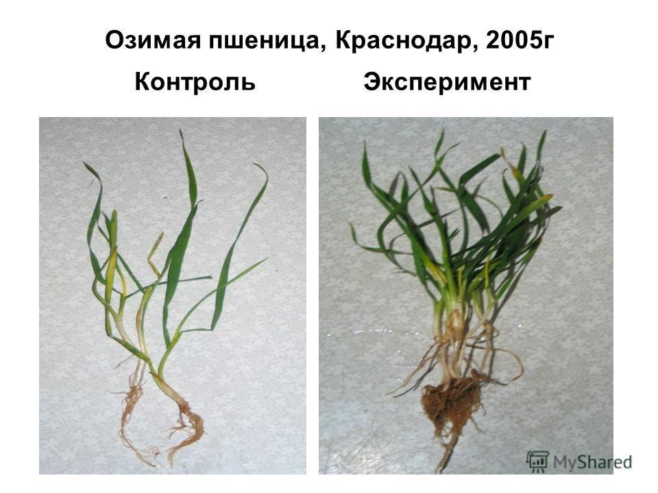 Озимая пшеница, Краснодар, 2005 г Контроль Эксперимент