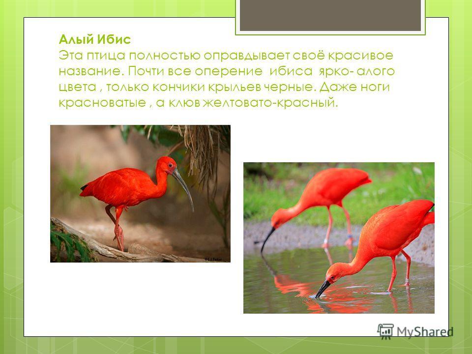 Алый Ибис Эта птица полностью оправдывает своё красивое название. Почти все оперение ибиса ярко- алого цвета, только кончики крыльев черные. Даже ноги красноватые, а клюв желтовато-красный.