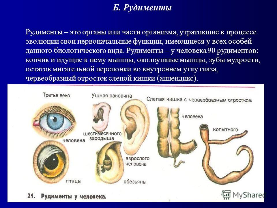 Б. Рудименты Рудименты – это органы или части организма, утратившие в процессе эволюции свои первоначальные функции, имеющиеся у всех особей данного биологического вида. Рудименты – у человека 90 рудиментов: копчик и идущие к нему мышцы, околоушные м