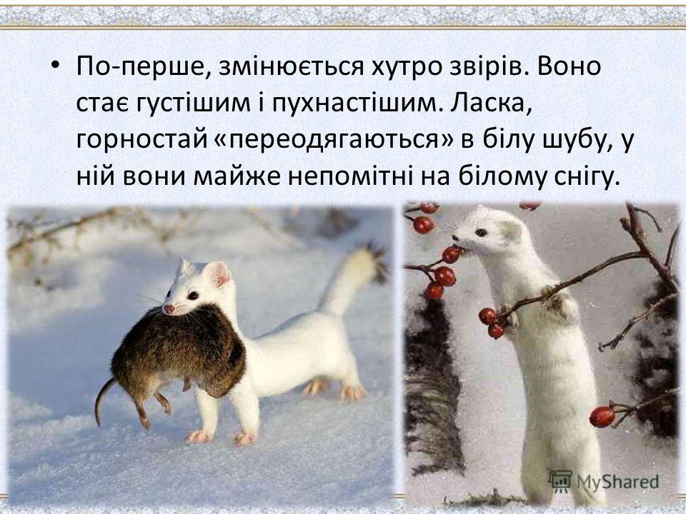 По-перше, змінюється хутро звірів. Воно стає густішим і пухнастішим. Ласка, горностай «переодягаються» в білу шубу, у ній вони майже непомітні на білому снігу.