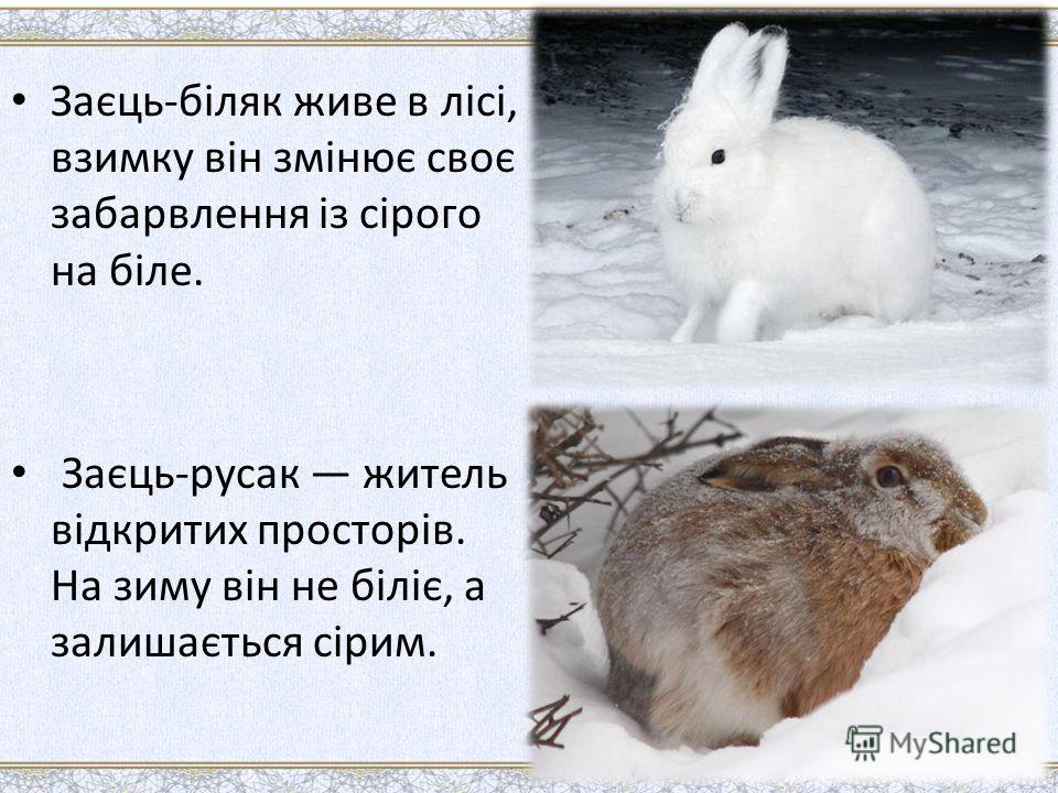Заєць-біляк живе в лісі, взимку він змінює своє забарвлення із сірого на біле. Заєць-русак житель відкритих просторів. На зиму він не біліє, а залишається сірим.