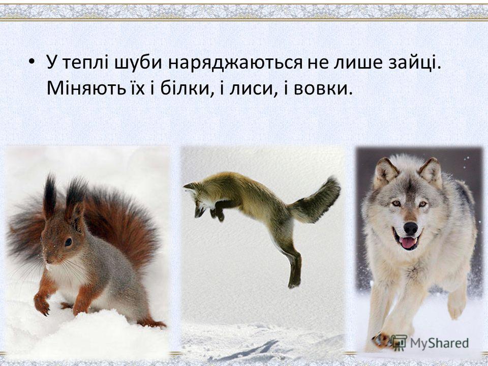 У теплі шуби наряджаються не лише зайці. Міняють їх і білки, і лиси, і вовки.