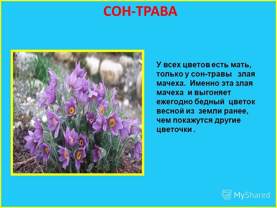 СОН-ТРАВА У всех цветов есть мать, только у сон-травы злая мачеха. Именно эта злая мачеха и выгоняет ежегодно бедный цветок весной из земли ранее, чем покажутся другие цветочки.