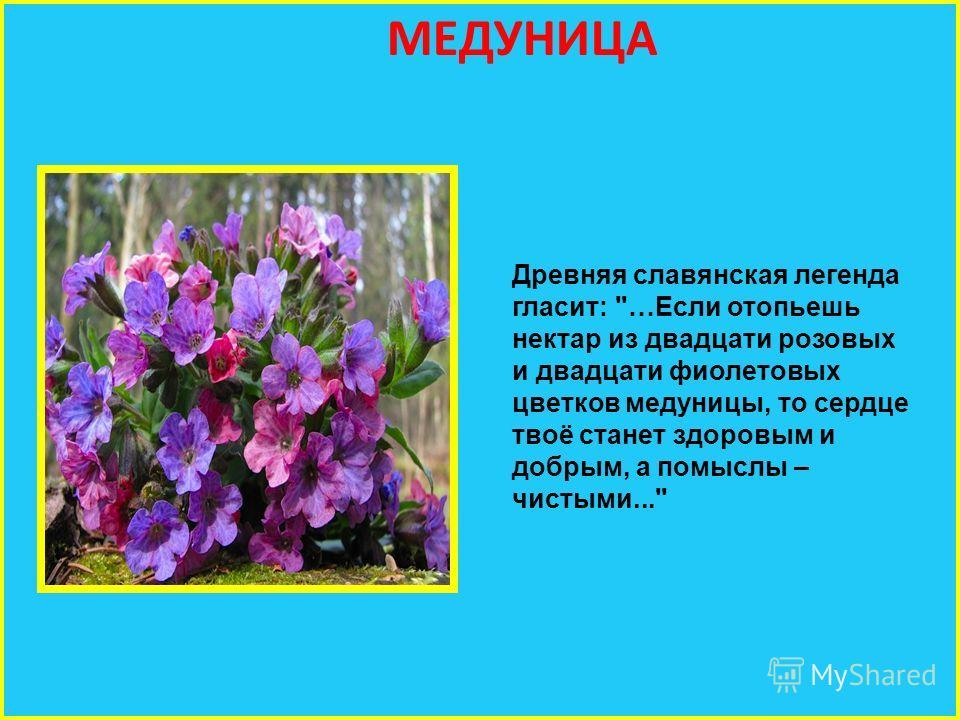 МЕДУНИЦА Древняя славянская легенда гласит: …Если отопьешь нектар из двадцати розовых и двадцати фиолетовых цветков медуницы, то сердце твоё станет здоровым и добрым, а помыслы – чистыми...