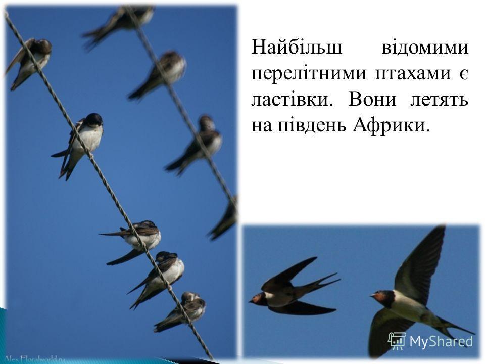 Найбільш відомими перелітними птахами є ластівки. Вони летять на південь Африки.