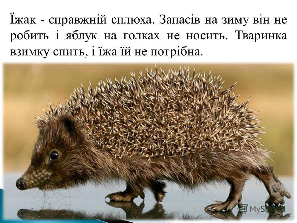 Їжак - справжній сплюха. Запасів на зиму він не робить і яблук на голках не носить. Тваринка взимку спить, і їжа їй не потрібна.