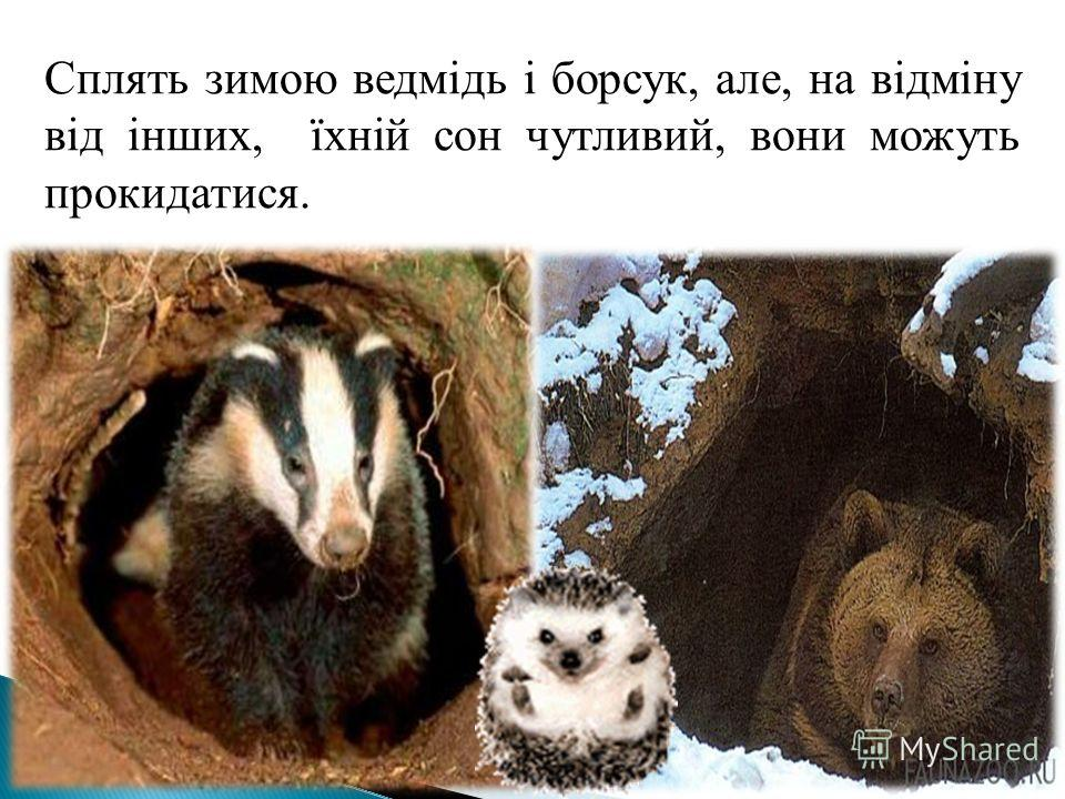 Сплять зимою ведмідь і борсук, але, на відміну від інших, їхній сон чутливий, вони можуть прокидатися.