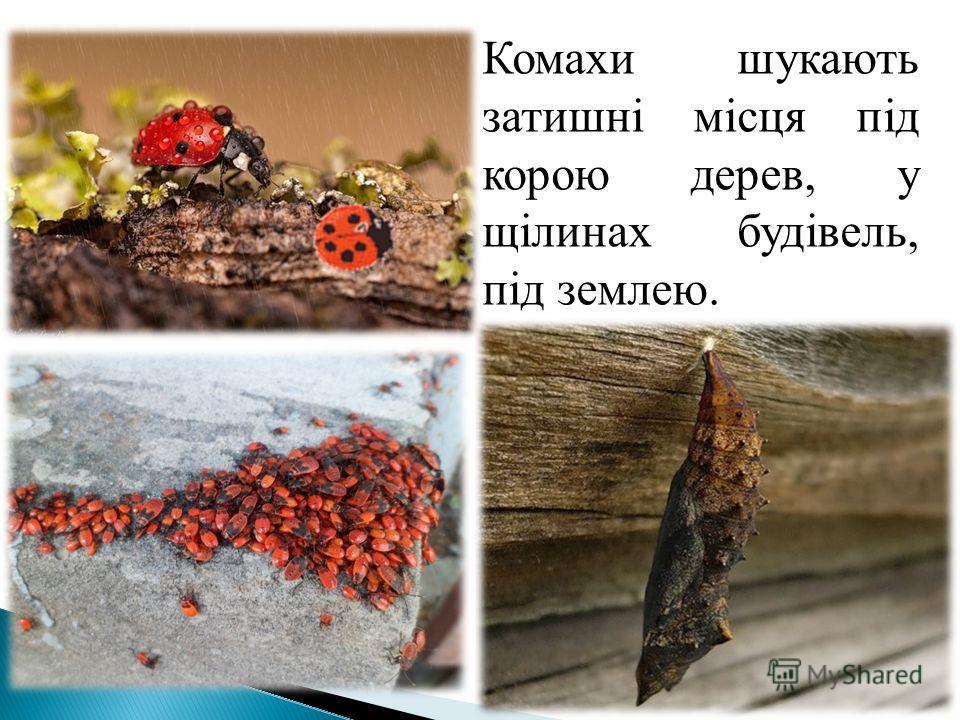 Комахи шукають затишні місця під корою дерев, у щілинах будівель, під землею.