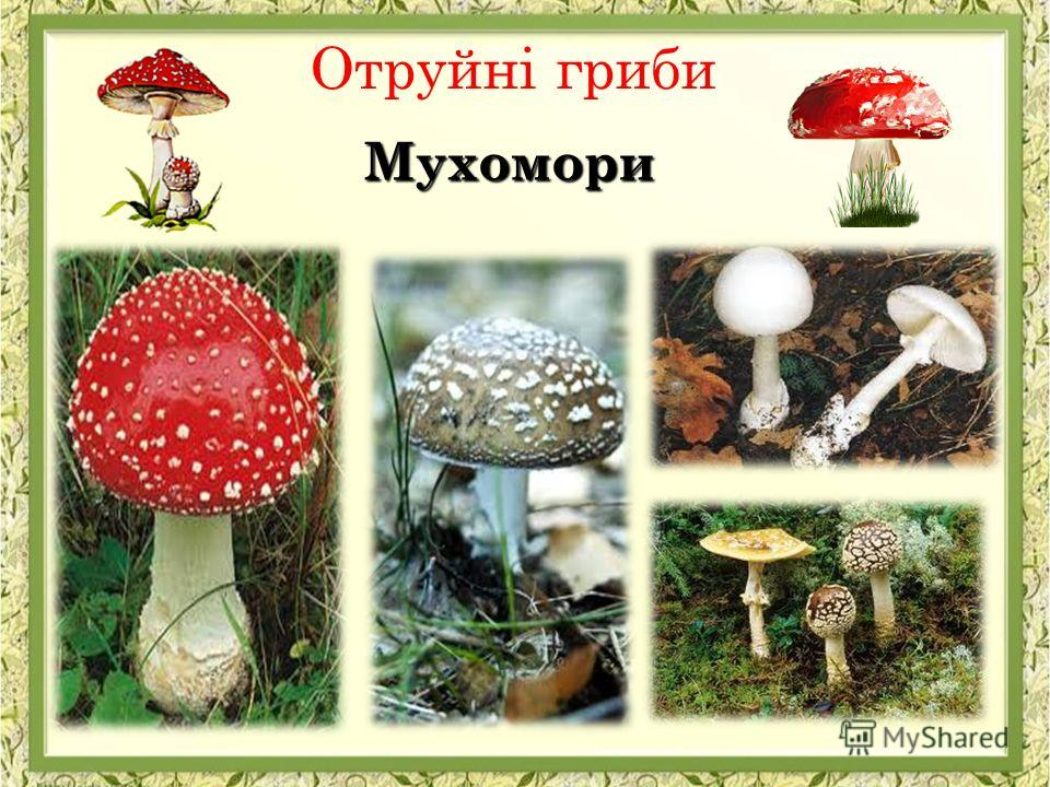 Отруйні гриби Мухомори