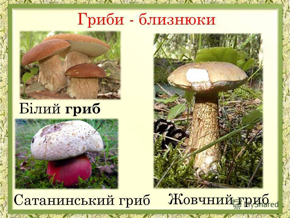 Гриби - близнюки Сатанинський гриб Жовчний гриб Білий гриб