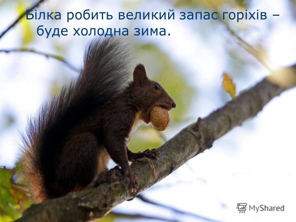 Білка робить великий запас горіхів – буде холодна зима.
