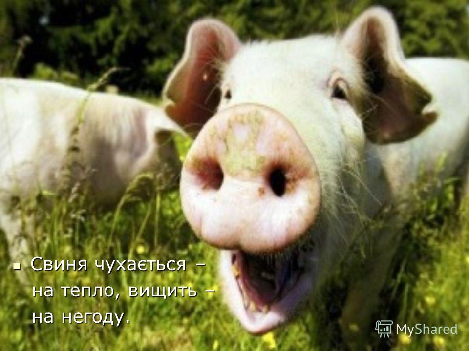 Свиня чухається – Свиня чухається – на тепло, вищить – на тепло, вищить – на негоду. на негоду.