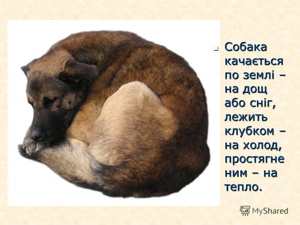 Собака качається по землі – на дощ або сніг, лежить клубком – на холод, простягне ним – на тепло. Собака качається по землі – на дощ або сніг, лежить клубком – на холод, простягне ним – на тепло.