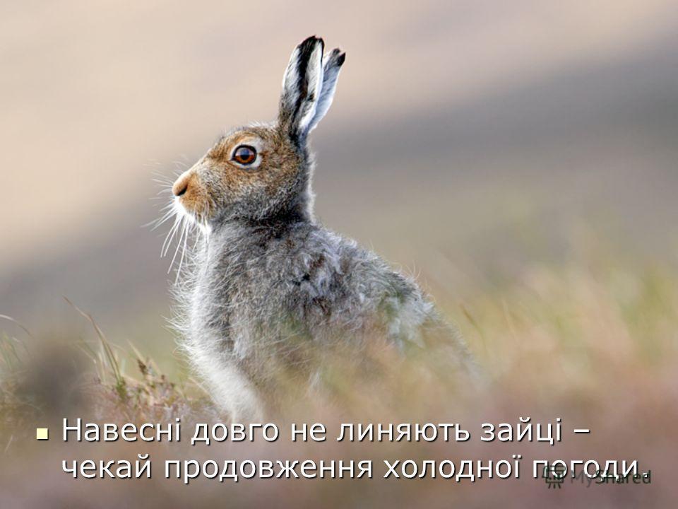 Навесні довго не линяють зайці – чекай продовження холодної погоди. Навесні довго не линяють зайці – чекай продовження холодної погоди.
