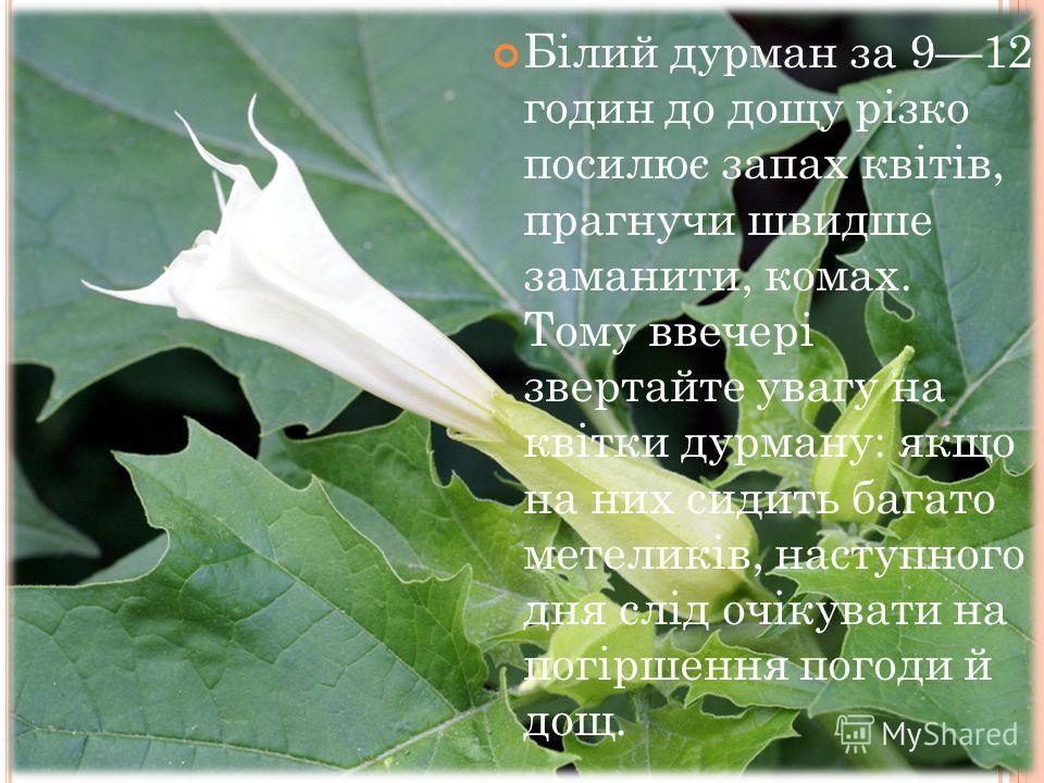 Білий дурман за 912 годин до дощу різко посилює запах квітів, прагнучи швидше заманити, комах. Тому ввечері звертайте увагу на квітки дурману: якщо на них сидить багато метеликів, наступного дня слід очікувати на погіршення погоди й дощ.