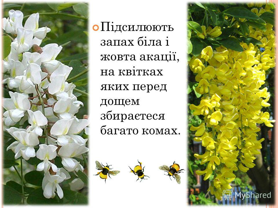 Підсилюють запах біла і жовта акації, на квітках яких перед дощем збираєтеся багато комах.