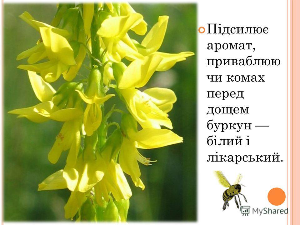 Підсилює аромат, приваблюю чи комах перед дощем буркун білий і лікарський.