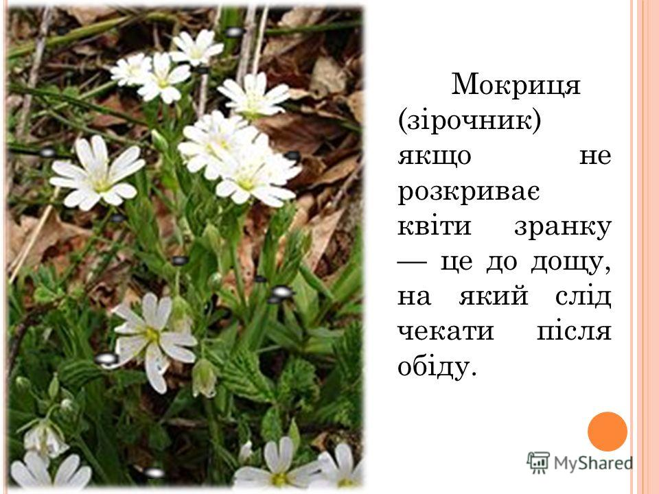Мокриця (зірочник) якщо не розкриває квіти зранку це до дощу, на який слід чекати після обіду.