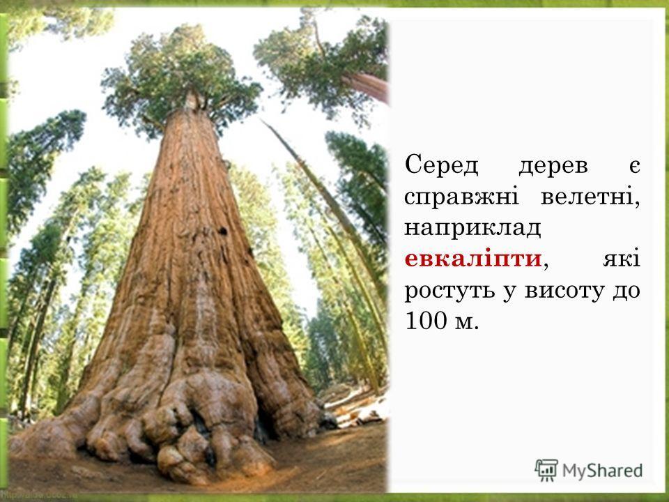 Серед дерев є справжні велетні, наприклад евкаліпти, які ростуть у висоту до 100 м.