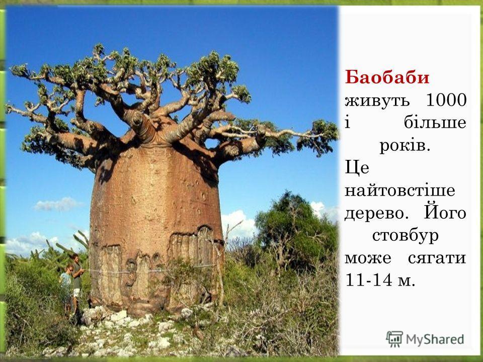 Баобаби живуть 1000 і більше років. Це найтовстіше дерево. Його стовбур може сягати 11-14 м.