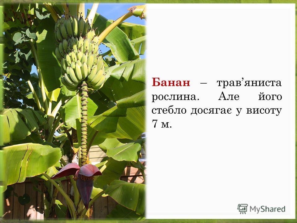 Банан – травяниста рослина. Але його стебло досягає у висоту 7 м.