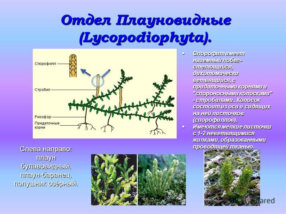 Отдел Плауновидные (Lycopodiophyta). Слева направо: плаун булавовидный, плаун-баранец, полушник озёрный. Спорофит имеет наземный побег - стелющийся, дихотомически ветвящийся, с придаточными корнями и