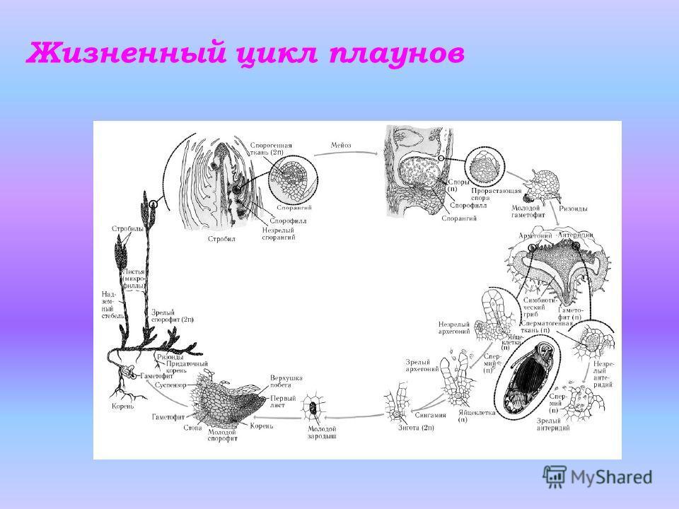 Жизненный цикл плаунов