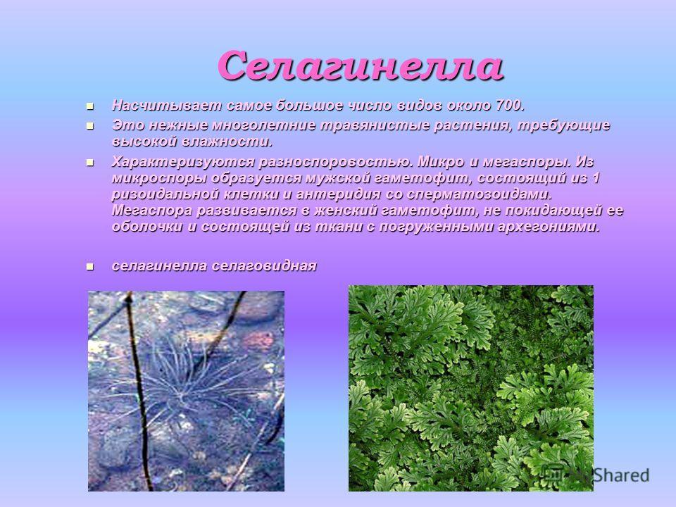 Селагинелла Насчитывает самое большое число видов около 700. Насчитывает самое большое число видов около 700. Это нежные многолетние травянистые растения, требующие высокой влажности. Это нежные многолетние травянистые растения, требующие высокой вла