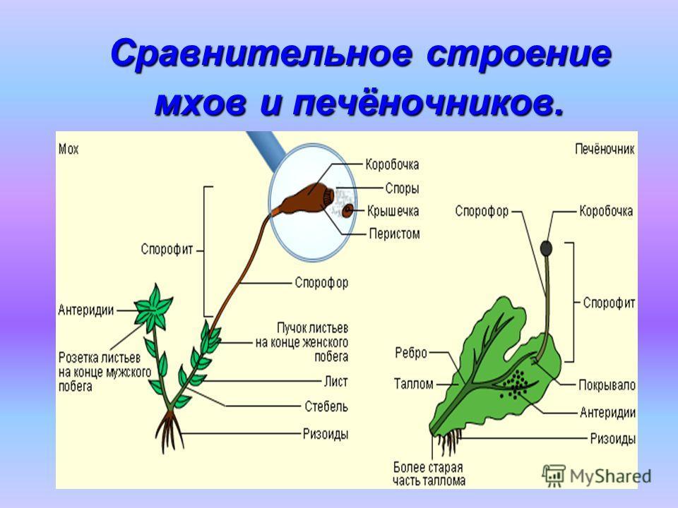 Сравнительное строение мхов и печёночников.