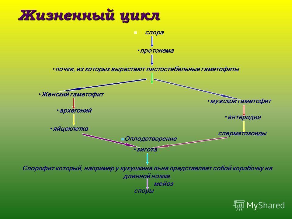 Жизненный цикл спора протонема почки, из которых вырастают листостебельные гаметофиты Женский гаметофит мужской гаметофит архегоний антеридии яйцеклетка сперматозоиды Оплодотворение зигота Спорофит который, например у кукушкина льна представляет собо